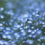 【高解像度】ネモフィラの花畑(3パターン)