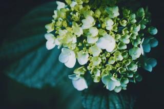 【高解像度】白緑色の紫陽花(アジサイ)(3パターン)