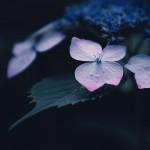 【高解像度】萼の先端がピンク色の紫陽花(アジサイ)(3パターン)