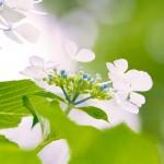 【高解像度】見上げる白い紫陽花(アジサイ)(3パターン)