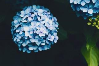 【高解像度】手毬咲きの紫陽花(アジサイ)(3パターン)