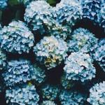 【高解像度】密集する紫陽花(アジサイ)(3パターン)