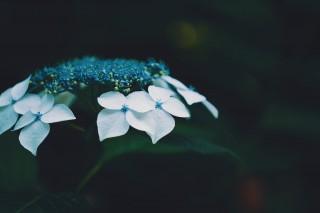 【高解像度】一輪の額紫陽花(ガクアジサイ)(3パターン)