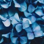【高解像度】濃い色の紫陽花(アジサイ)(3パターン)