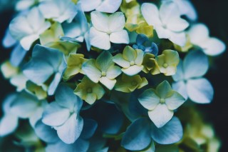 【高解像度】バイカラーの紫陽花(アジサイ)(3パターン)