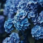 【高解像度】深い色の紫陽花(アジサイ)(3パターン)
