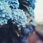 【高解像度】紫陽花が咲く道(アジサイ)(3パターン)