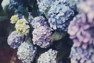 【高解像度】淡い色合いの紫陽花(アジサイ)(3パターン)