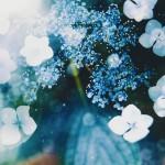 【高解像度】光と紫陽花(アジサイ)(3パターン)