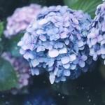 【高解像度】水泡と紫陽花(アジサイ)(3パターン)