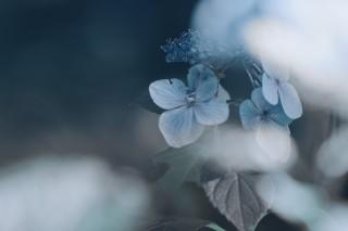 【高解像度】寂しげな紫陽花(アジサイ)(3パターン)