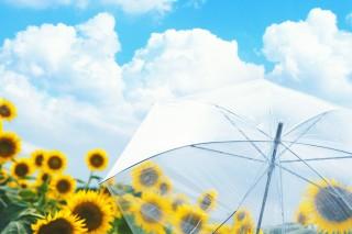 【高解像度】雨上がりの向日葵畑(ヒマワリ)(3パターン)