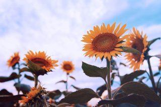【高解像度】空を仰ぐ向日葵(ヒマワリ)(3パターン)