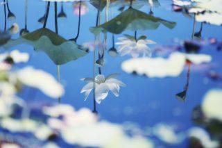 【高解像度】水に映る白い蓮(ハス)(3パターン)