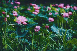 【高解像度】群生するピンク色の蓮(ハス)(3パターン)