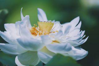 【高解像度】大きく開く白い蓮(ハス)(3パターン)