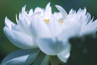 【高解像度】羽毛のような白い蓮(ハス)(3パターン)