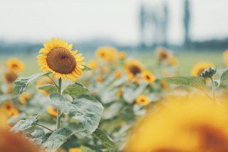 【高解像度】景色を眺めるような向日葵(ヒマワリ)(3パターン)