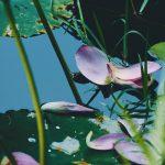 【高解像度】散った蓮の花弁(ハス)(3パターン)