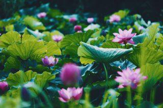 【高解像度】点々と咲く蓮(ハス)(3パターン)
