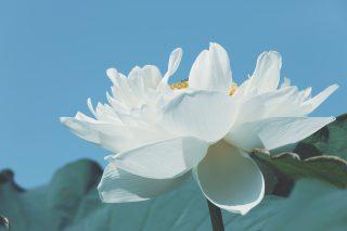 【高解像度】空に伸びる白い蓮(ハス)(3パターン)