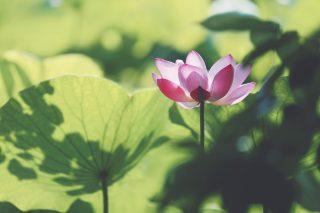 【高解像度】葉に囲まれた蓮(ハス)(3パターン)
