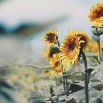 【高解像度】方方を向いて咲く向日葵(ヒマワリ)(3パターン)