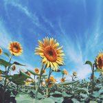 【高解像度】青空の下に咲く向日葵(ヒマワリ)(3パターン)