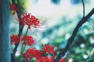 【高解像度】柱の影に咲く彼岸花(3パターン)