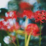 【高解像度】緑に滲む彼岸花(3パターン)