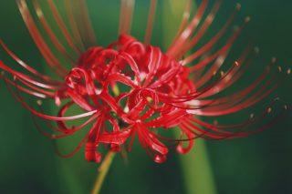 【高解像度】艶のある彼岸花(3パターン)