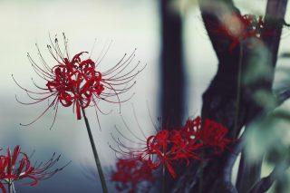 【高解像度】薄暗い雰囲気の彼岸花(3パターン)