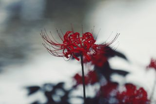 【高解像度】川の畔に咲く彼岸花(3パターン)