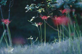 【高解像度】点々と咲く彼岸花(3パターン)