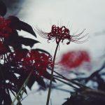 【高解像度】方方を向いて咲く彼岸花(3パターン)