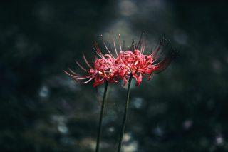 【高解像度】零れ落ちた光に照らされる彼岸花(3パターン)