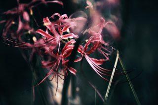 【高解像度】茎に寄りかかる彼岸花(3パターン)