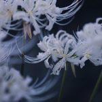 【高解像度】まとまって咲く白花曼珠沙華(3パターン)