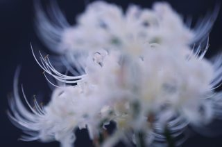 【高解像度】重なる白花曼珠沙華(3パターン)