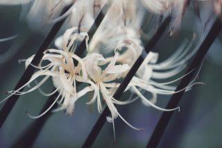 【高解像度】茎の間に咲く白花曼珠沙華(3パターン)