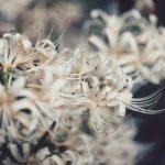 【高解像度】群生する白花曼珠沙華(3パターン)