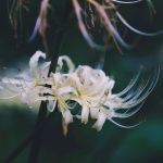 【高解像度】枯れた花に凭れる白花曼珠沙華(3パターン)