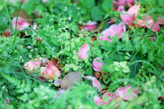 【高解像度】乙女椿の花弁(オトメツバキ)(3パターン)