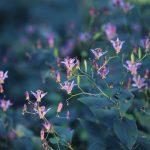 【高解像度】群生する台湾杜鵑草(タイワンホトトギス)(3パターン)
