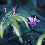 【高解像度】台湾杜鵑草の花と蕾(タイワンホトトギス)(3パターン)
