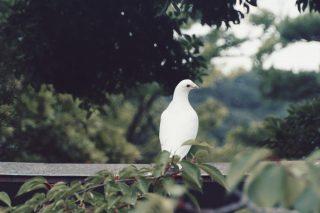 【高解像度】見返る鳩(3パターン)