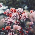 【高解像度】落ち着いた花色の満開の薔薇(バラ)(3パターン)