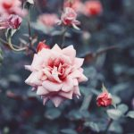 【高解像度】アンティークな雰囲気の薔薇(バラ)(3パターン)