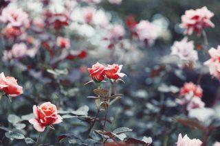 【高解像度】寄り添う二輪の薔薇(バラ)(3パターン)