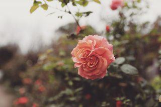 【高解像度】双子の薔薇・全景(バラ)(3パターン)